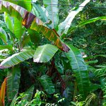 Banana trees, palms, and various tropical flowers are everywhere