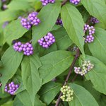 Beautyberry - 8-2014