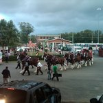 Clydesdales in the Parade
