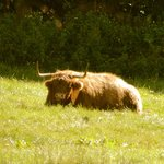 Highland Cattle- see the hairy coos!