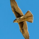 Raptor Quest: Prairie Falcon