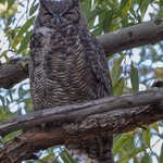 Owl Quest:  Great Horned Owl