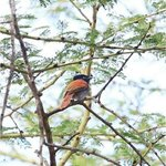 this beautiful African Paradise Flycatcher was standing right outside our tent!  great biodivers