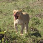 Lioness after killing a wildebeest on her own.