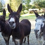 The family's donkeys