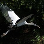 Wood Stork on golf course