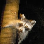 BILLY RACOON