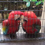 Two loving parrots