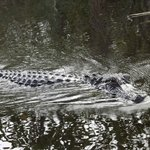 we saw this gator on our tour