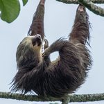 2 toed sloth in the parking lot