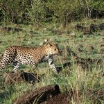 This leopard is en route to the watering hole for a drink.