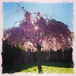 Beautiful weeping cherry blossom in garden courtyard.