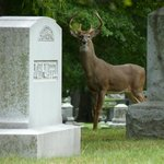 A buck that was walking in the cemetery