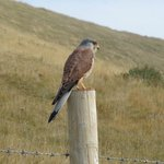Kestrel at Durdle Door