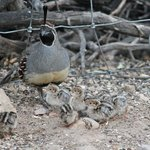 Gambel's Quail family, the babies were just two days from birth
