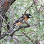 Black-headed Grosbeak in the garden