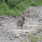 Cottontail Rabbit in parking area