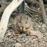 Rock Squirrel in the garden