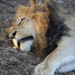 got a great shot of this male lion sleeping.