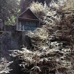 Albino Redwood on the grounds