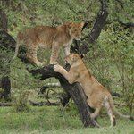 Lion cubs playing in the Naboisho conservancy