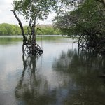 Mangroves- several feet from bar- water taxi stops here