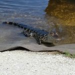adolescent gator coming to say hi on shore!