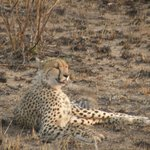 Cheetah, seen during evening drive