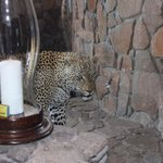 Video is on their Singita FB! Male leopard on our patio!
