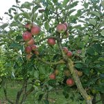 Orchards include multiple apple varieties