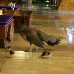 Peacocks in Lobby