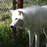 One of the many beautiful wolves who are lucky enough to call this place home!