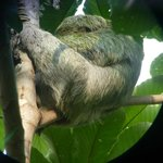 Sloth through guides telescope on the property. Playitas beach location.