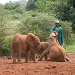 young ellies interacting with their caretaker at the Elephant Orphanage