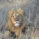 a fantastic lion picture taken on a day out game drive
