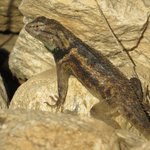 Spiny Lizard at the Crack of Dawn