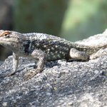 Another Spiny Lizard