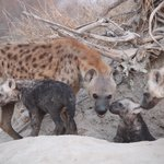 The whole family of  spotted hyenas