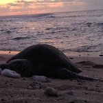 A sea turtle pays us a visit from the Pacific