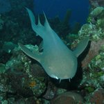 Squeeky the nurse shark