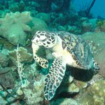 Hawksbill turtle, was fairly common during the week