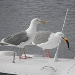 Seagulls with a fish on top of a float plane by the patio of the Lighthouse.
