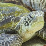 Sea Turtle on a recent trip to Flinders Reef with Go Dive Brisbane