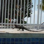 Iguana at the pool