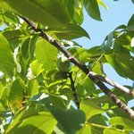 detail arbres fruitiers