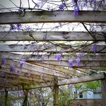 Wisteria covered pergola