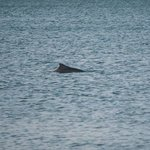 Dolphins Swimming about 50M off the beach opposite the apartments.