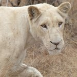White lioness up close and personal