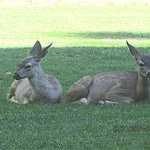 Fawns on the lawn