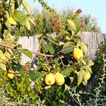 Quince tree in their garden